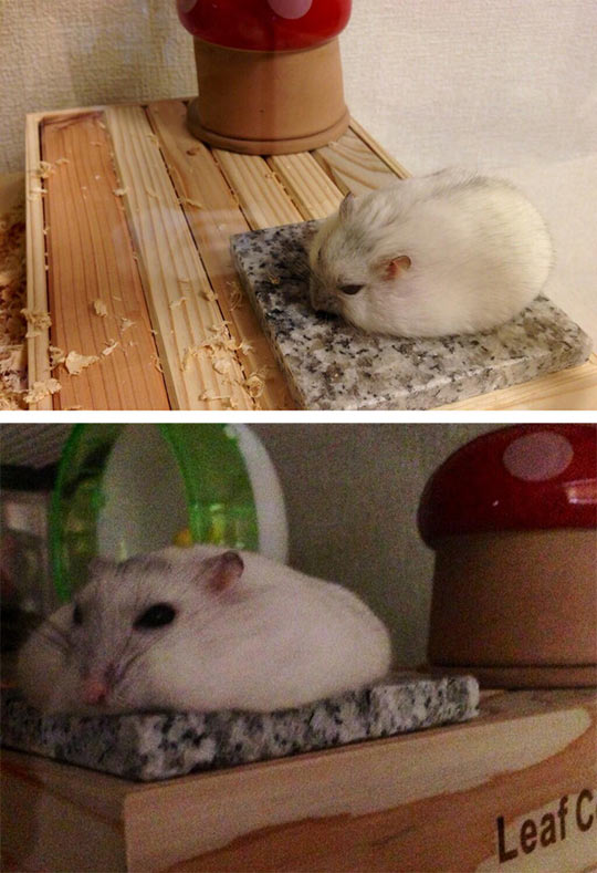 Hamster cooling down in summer…