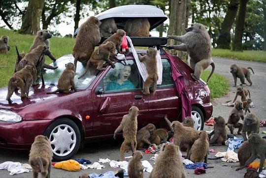 funny-monkeys-attack-car-woman