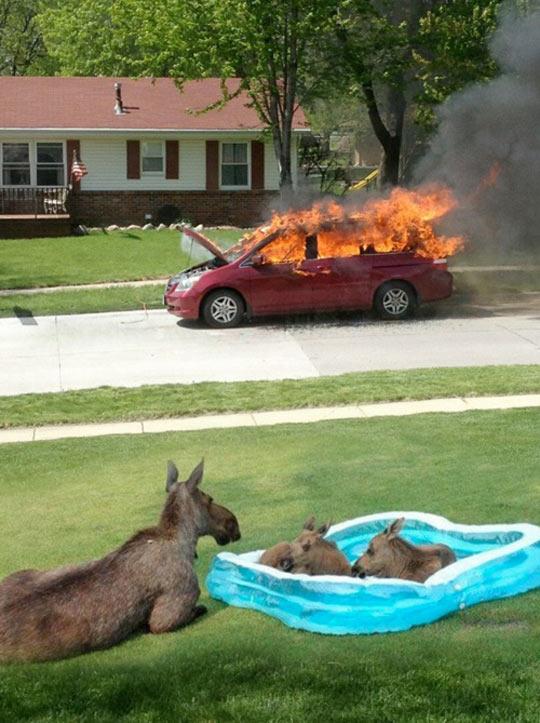 funny-moose-pool-car-fire