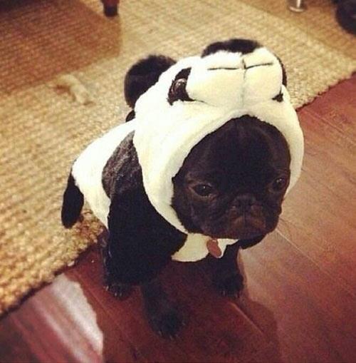 funny-puppy-cute-face-panda-costume