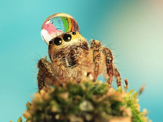 Spider wears a water drop as a fancy hat…