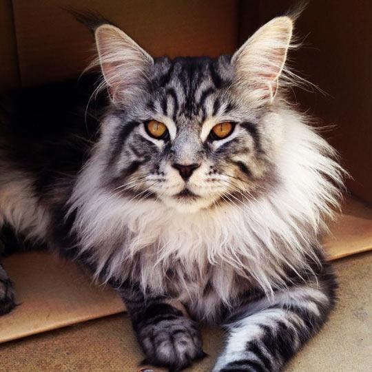 cool-lion-cat-cute