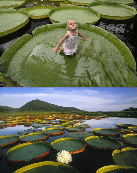 Victoria Amazonica, the plant that can support up to 40 kg…