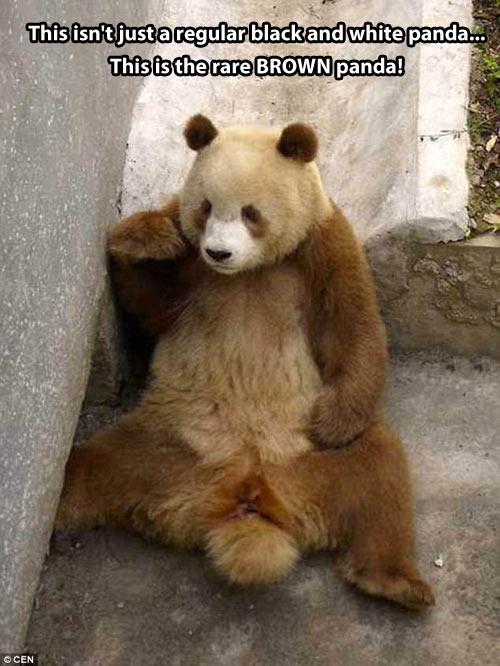 cool-rare-brown-panda