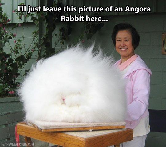 funny-Angora-Rabbit-fluffy