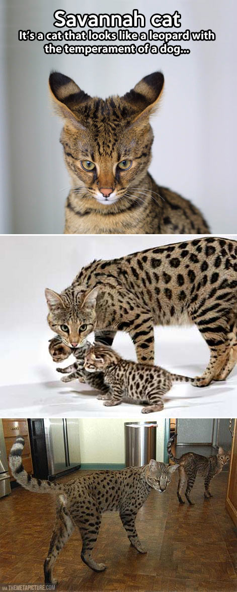 The Savannah cat…