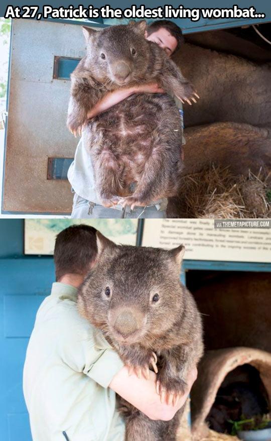 funny-Wombat-big-hug