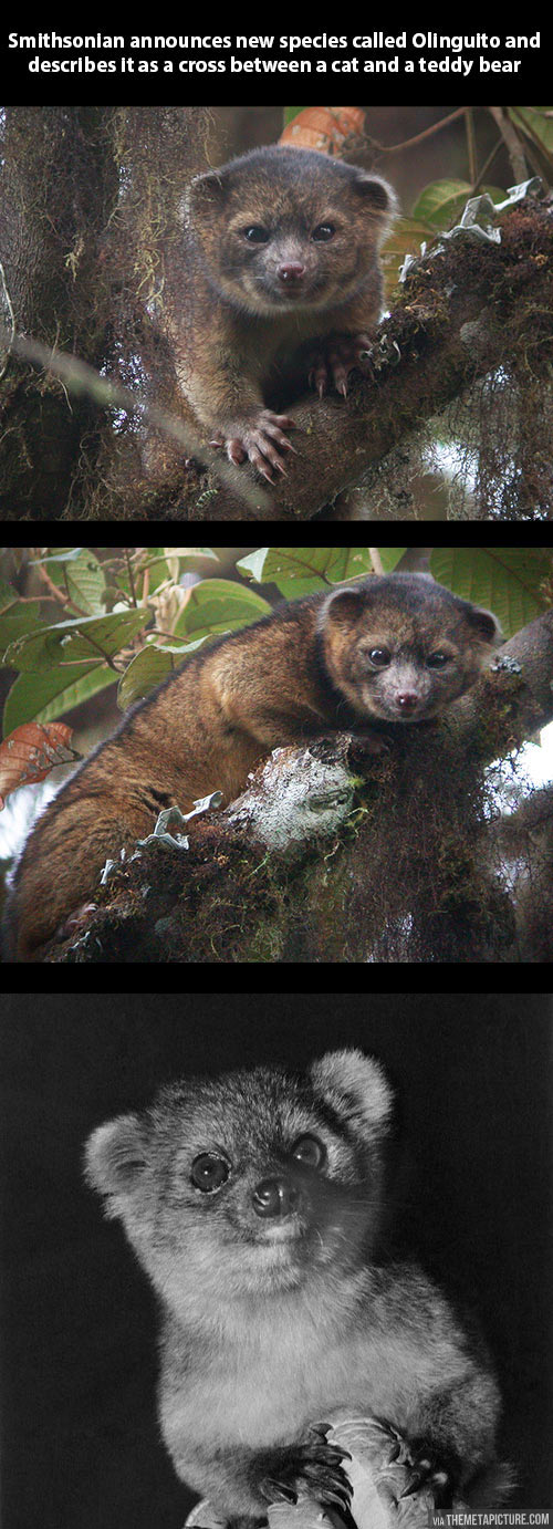 A new species has been found: The Olinguito…