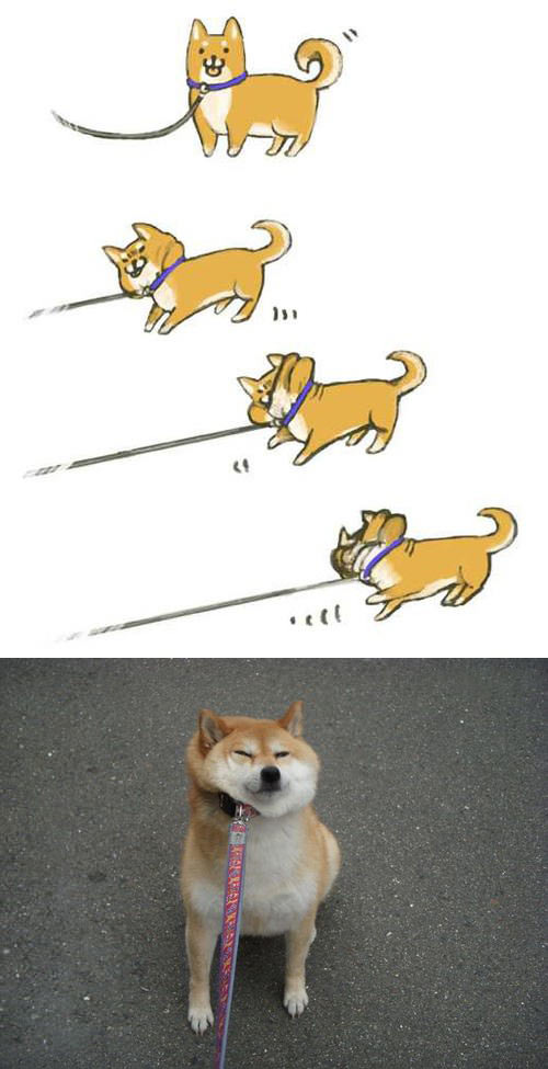 This Shiba doesn't like to use a leash…