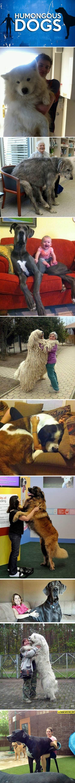 Humongous Dogs…