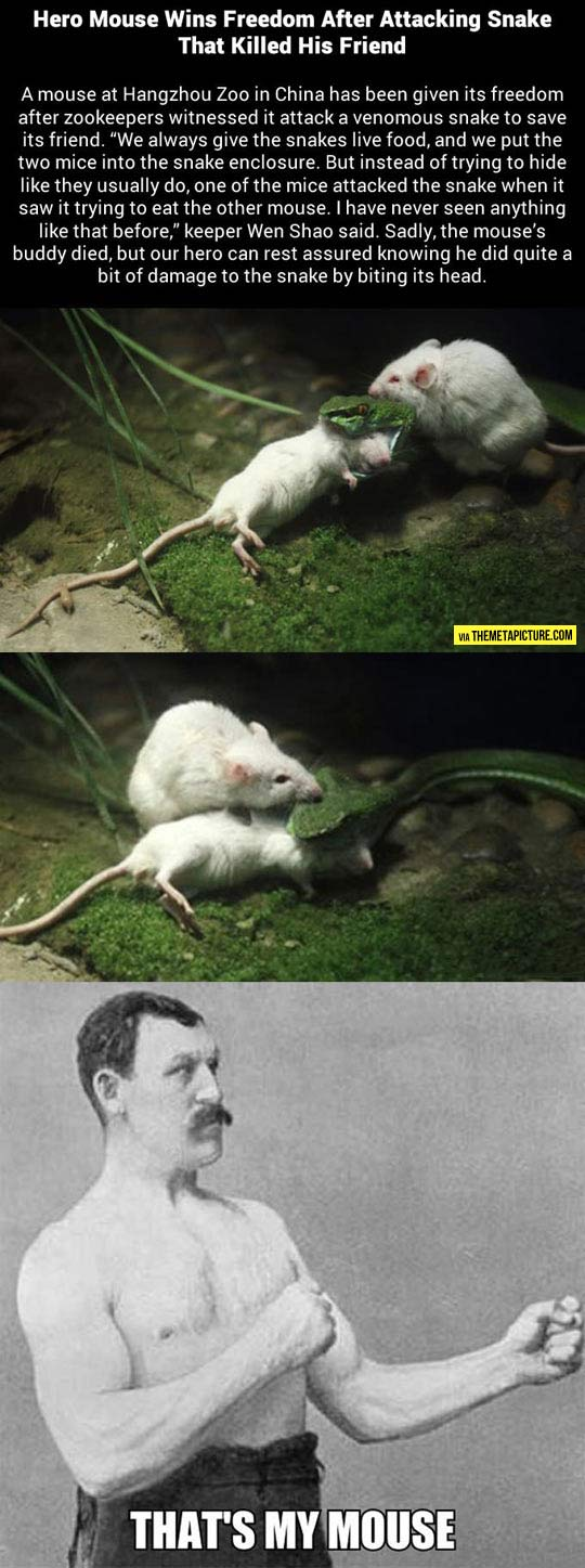 Brave mouse attacks snake that killed his friend…