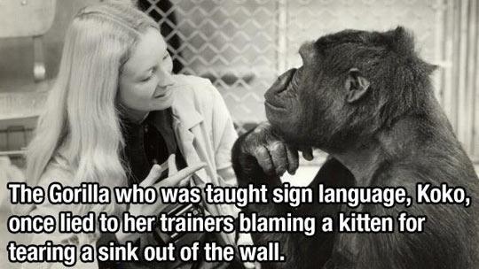 funny-lying-monkey-cat