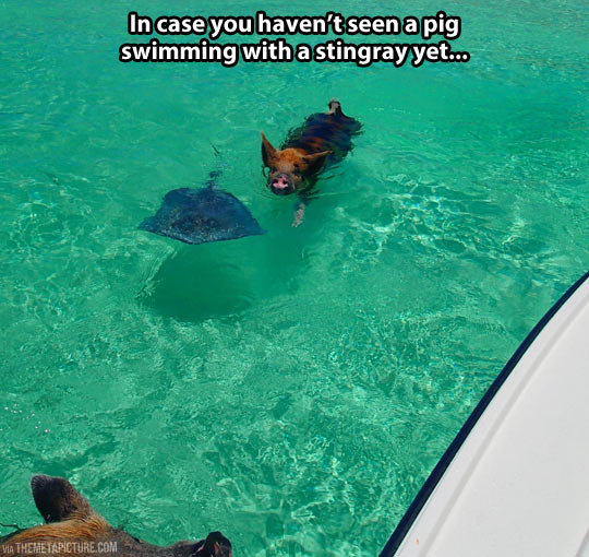 Ever seen a pig swimming with a stingray?