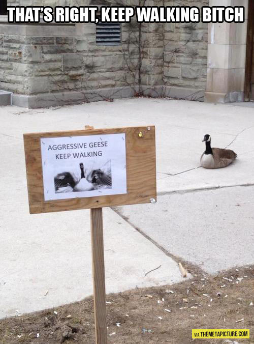 Aggressive geese…