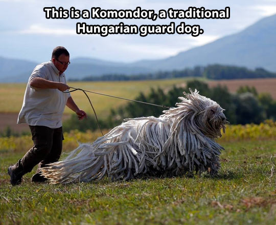 The beautiful Komondor…