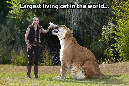 The biggest cat on the planet…