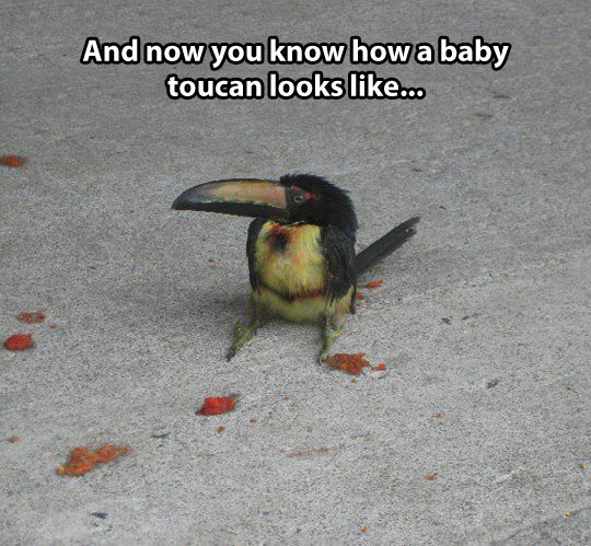 cute-baby-toucan-bird