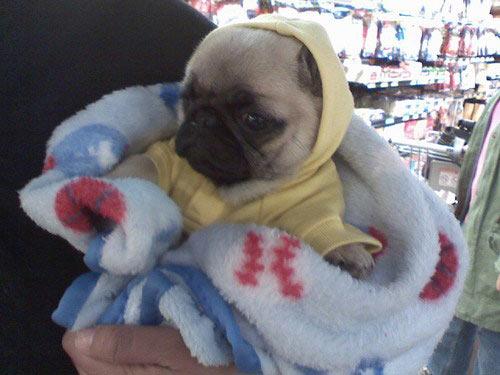 Pug in a onesie…