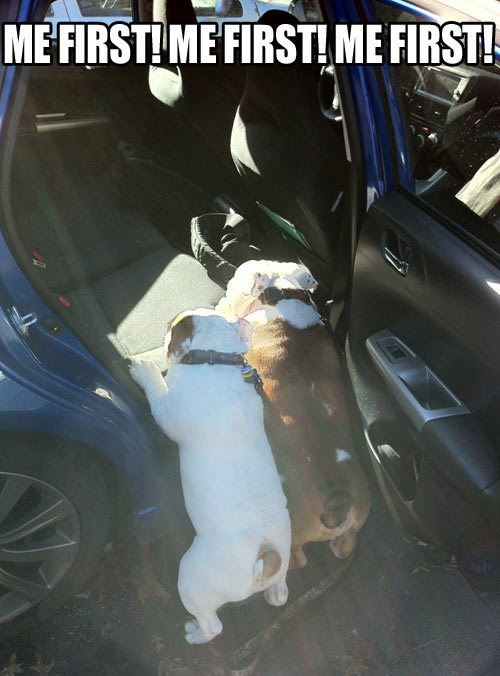 funny-dogs-jump-car-fat