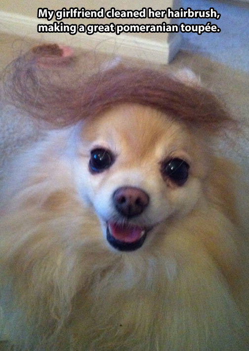 Great Pomeranian toupee…