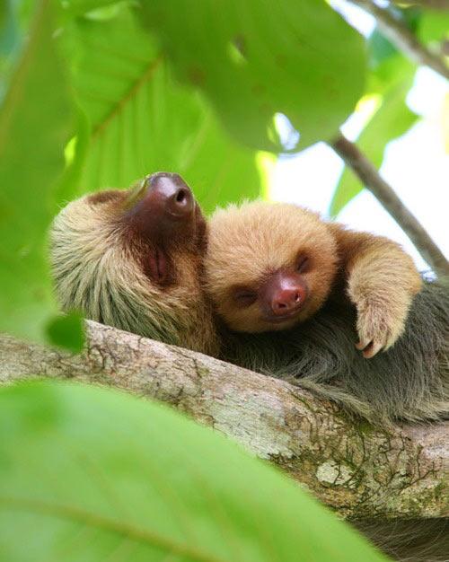 Snuggling sloths…