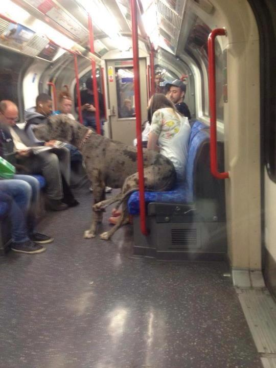 Great Dane on a Train!