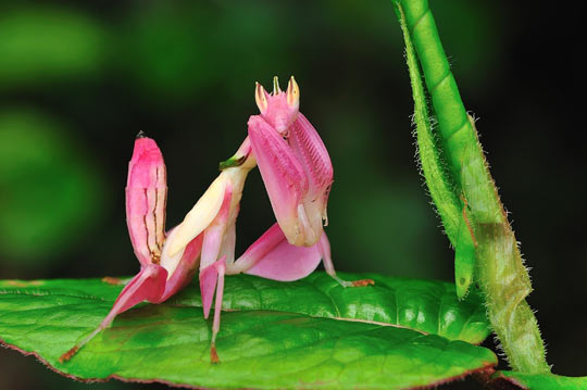 cool-Orchid-Mantis-pink-insect
