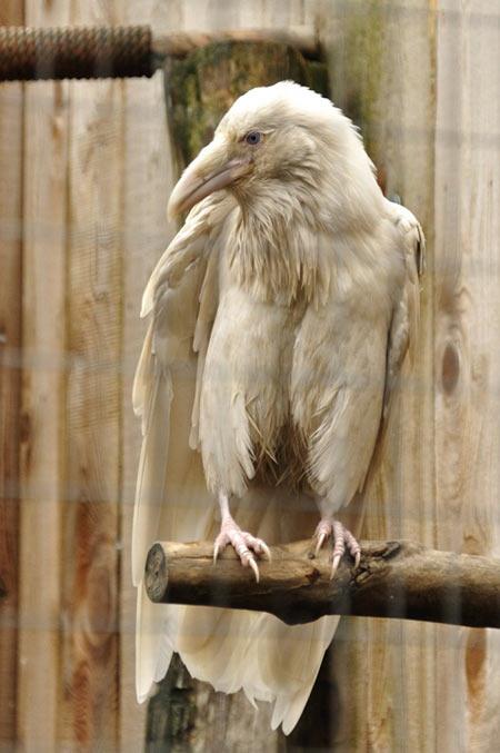 An Albino Raven…