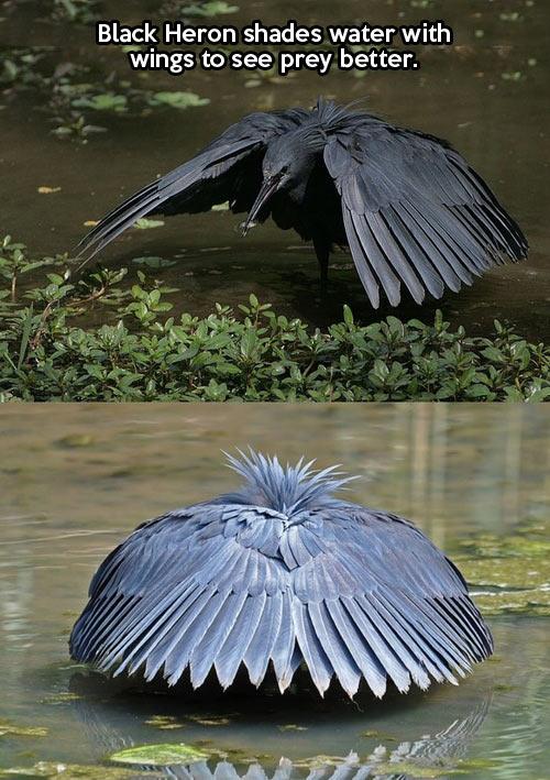 cool-black-heron-bird-wings