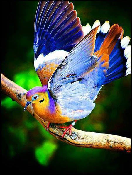 Fruit Dove…