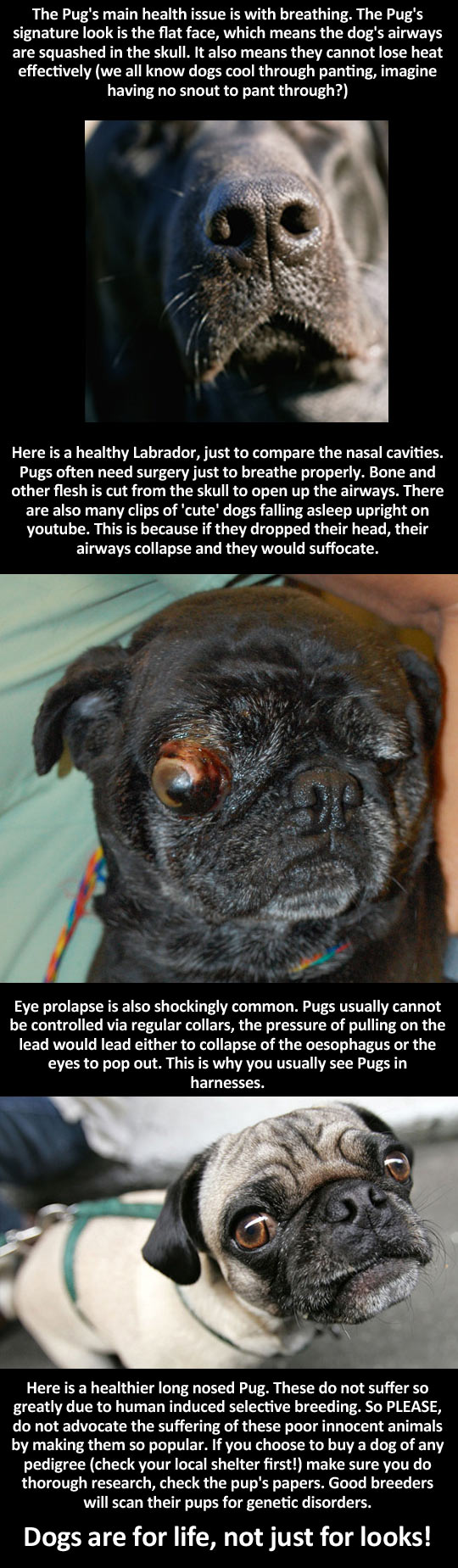cool-pug-dog-care-illness