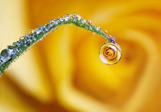 Rose in a dew drop…