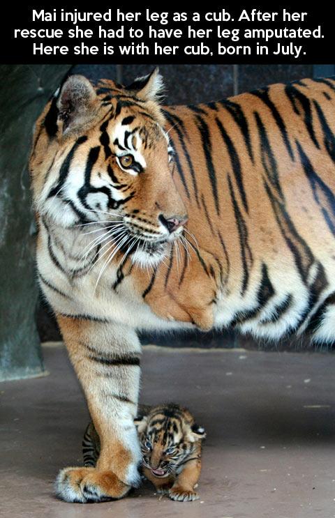 This tiger is a true survivor…