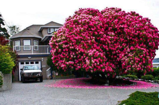 Rhododrendon Tree…