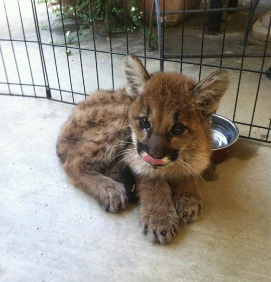 The ferocious face of a baby mountain lion…