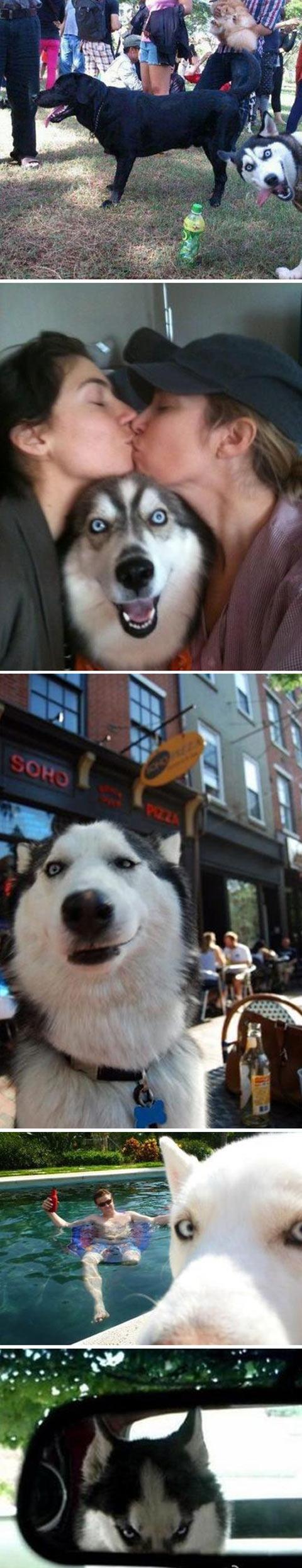 funny-dog-Husky-photobomb