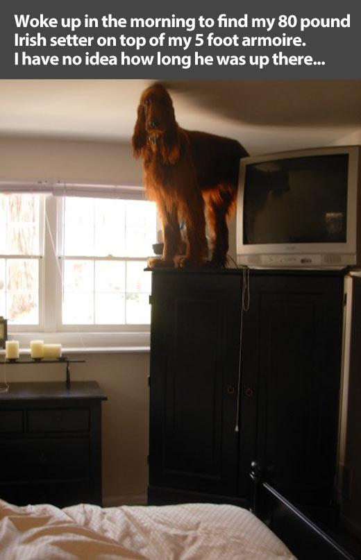 funny-dog-Irish-Setter-bedroom-confused