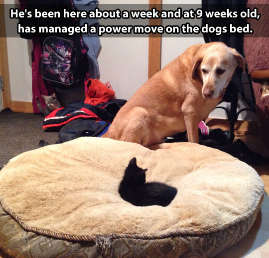 Kitten goes for the dog throne…