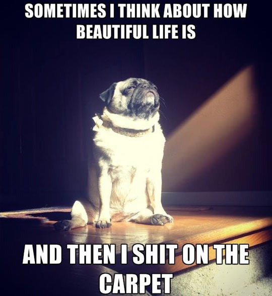 funny-dog-pug-reflexive-thought-mean
