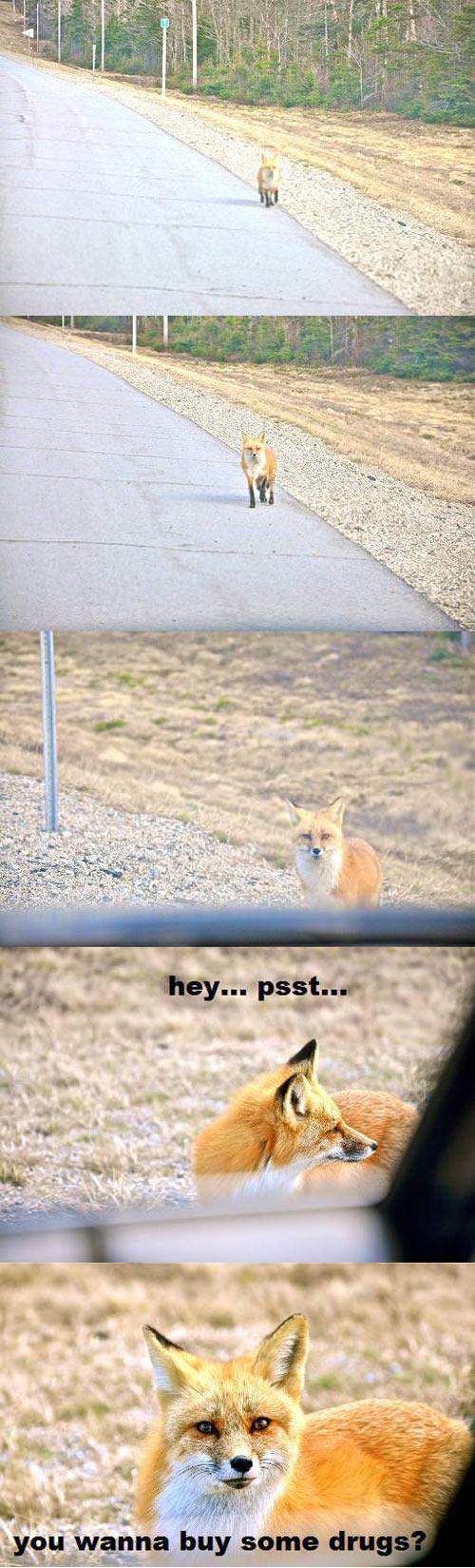 funny-fox-road-walking-selling