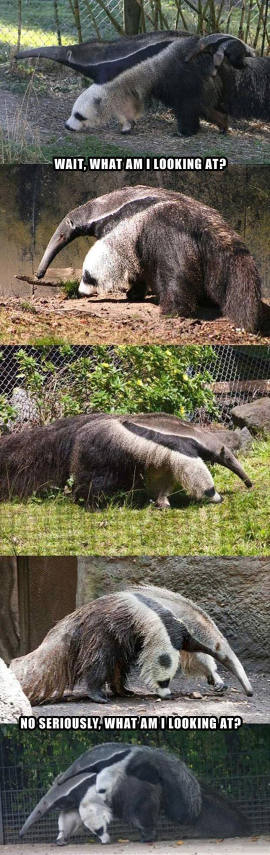 Anteaters are hard to figure out…