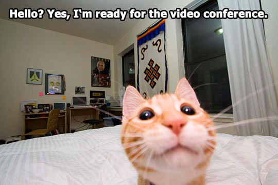 funny-kitty-watching-camera-video-conference
