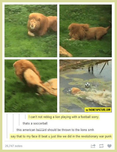 funny-lion-playing-soccer-water-football