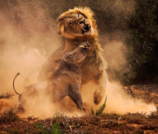 A warthog and a lion in combat…