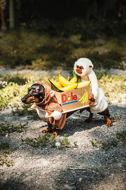 funny-monkeys-box-bananas-costume-dog