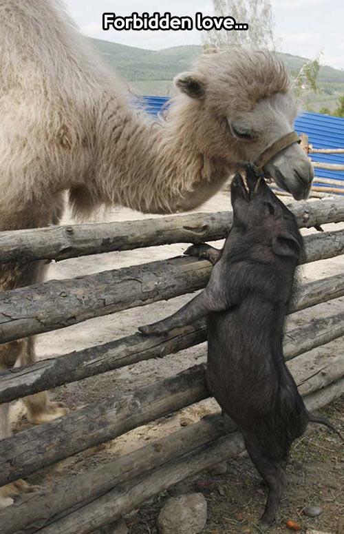 funny-pig-camel-love-kiss-zoo