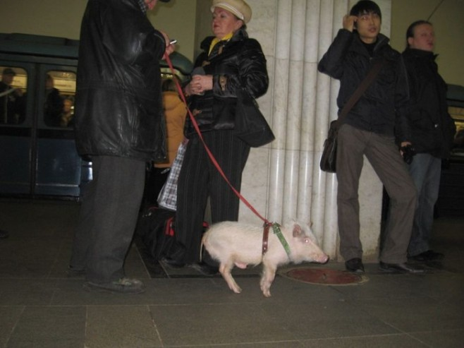12 Does This Pig Really Like the Big City Life