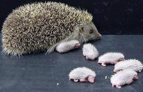 BABY HEDGEHOGS AND THEIR MOTHER. NOT AS CUTE...