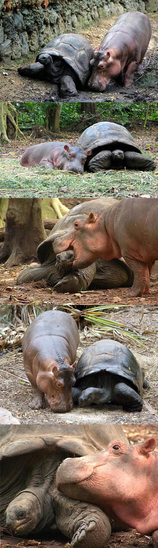 funny-baby-hippo-tortoise-friends-love