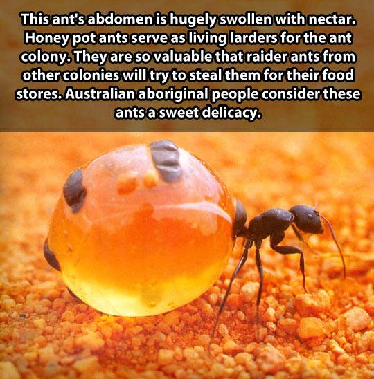 cool-ant-nectar-swollen-abdomen